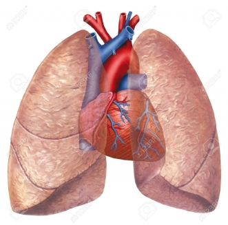 Diagram Of Inner Lungs And Heart Heart And Lung Anatomy Human Anatomy System